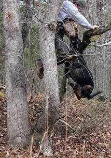 Hans climbing the tree after the suspect